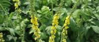 Agrimonia_eupatoria-e1409297508530