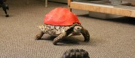 cleopatra-tortoise