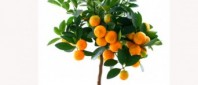 dwarf-citrus-tree_490-342x230