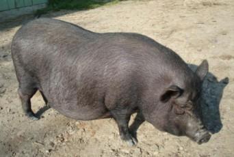 porc-vietnamez