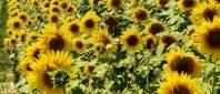 Floarea-soarelui-e1408345622406