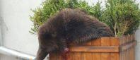 sibiu-urs-pe-strada-1024x576