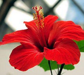 trandafir-japonez